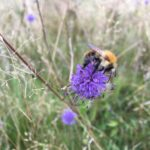 Common carder bee on devil's-bit scabious at Shepherd Meadows captured by Warden Flo