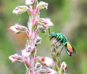 Photo of a ruby-tailed wasp taken by Nick at Lightwater Country Park