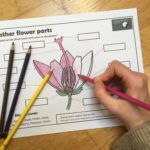 Flo enjoyed colouring in the heather flower parts worksheet!
