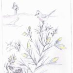 Sketch featuring a little Dartford warbler guarding his nest, built just above the ground!
