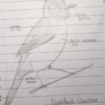 Drawing made by Henry. Identification features labelled.