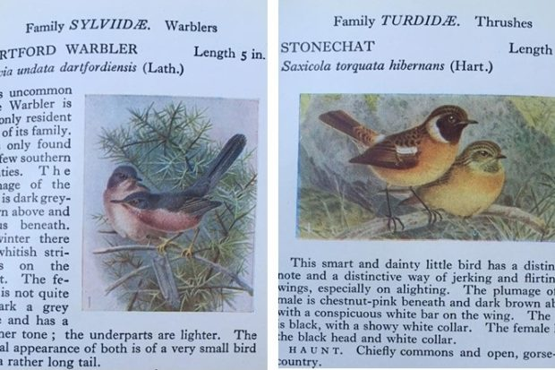 Illustrations of Dartford warbler and stonechat featured in Flo's book