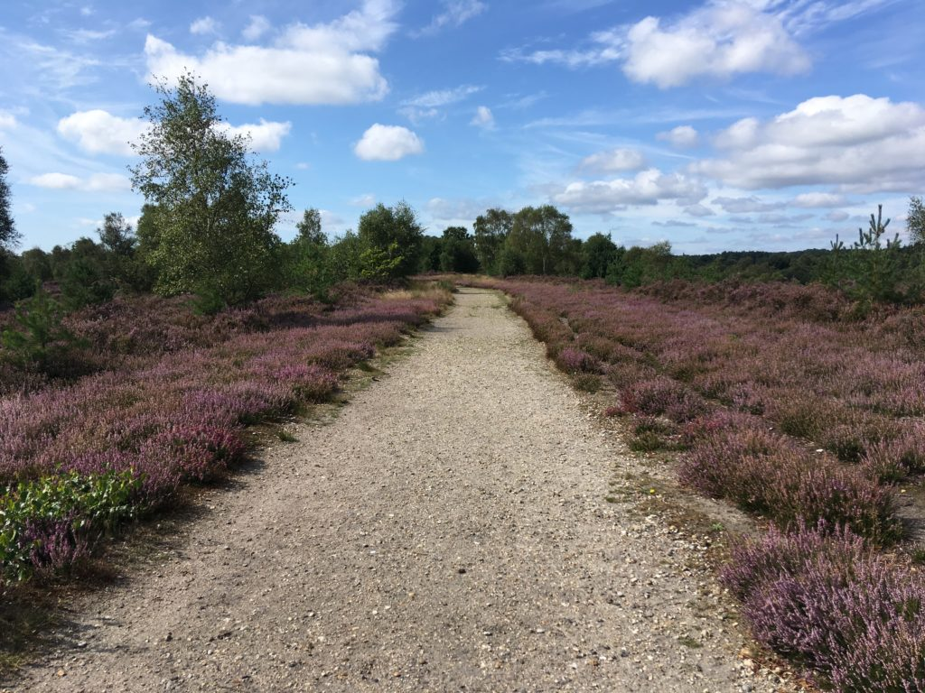 Heathland track with short-cropper heather either side - a great place to look out for silver-studded blues