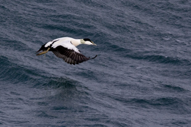 Photograph of a male eider duck on the Sound of Barra
