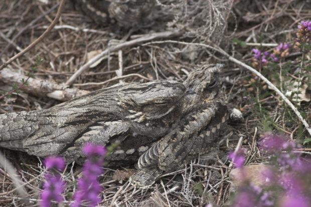 Photograph of a nightjar (credit: Natural England/Allan Drewitt)
