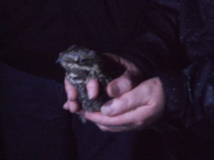 Photograph of a nightjar held in the hand during a survey