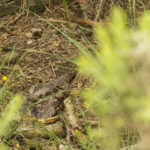 Photograph of a camouflaged nightjar on the nest