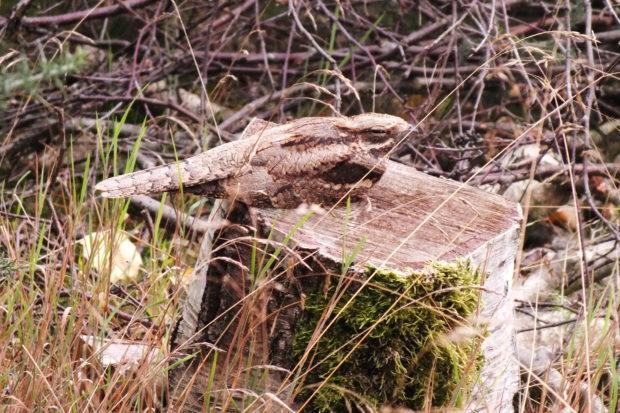 Photograph of a nightjar on a stump taken by Warden Nicky