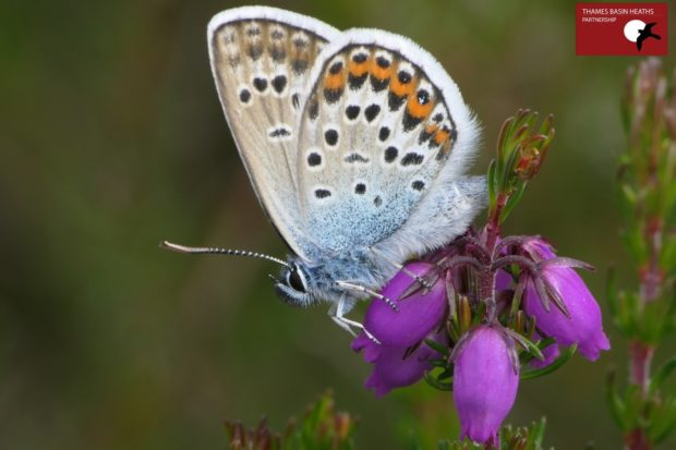 Male silver-studded blue on bell heather.