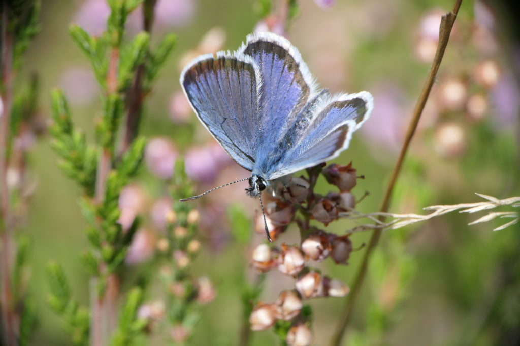 Male silver-studded blue butterfly perched atop heather