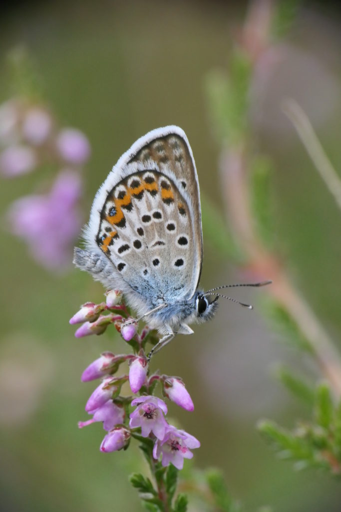 Male silver-studded blue butterfly perched atop ling heather