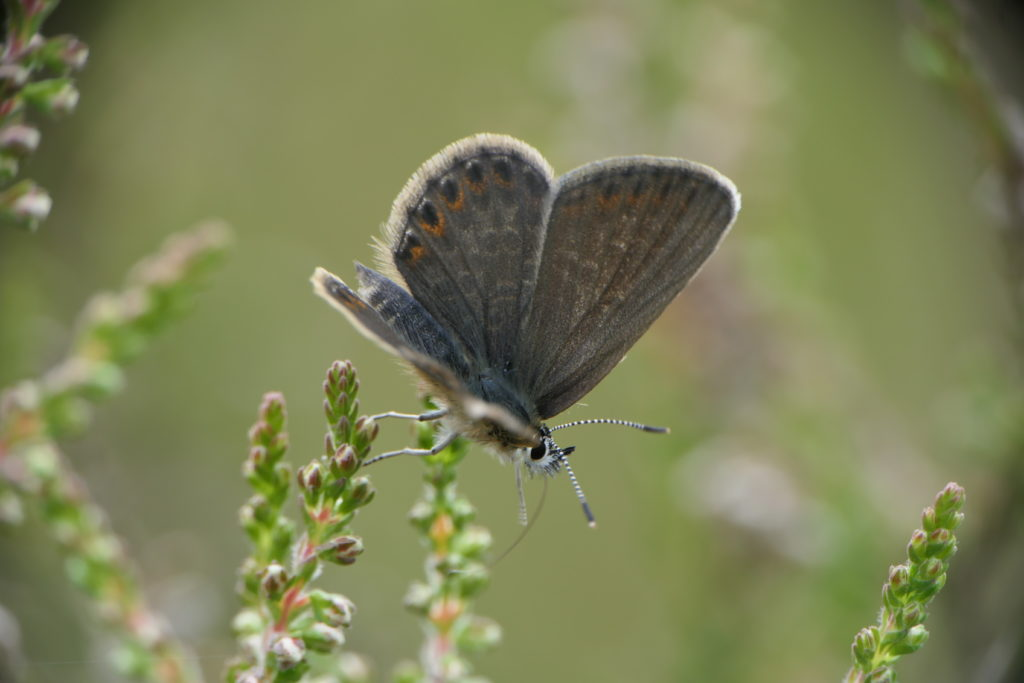 Female silver-studded blue butterfly perched on top of heather