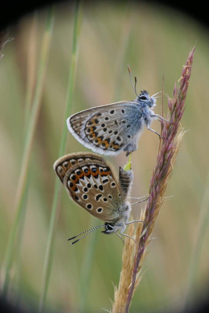Silver-studded blue pair mating