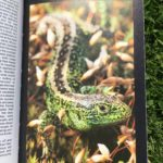 Photograph of a page from Dave's favourite book, showing a make sand lizard