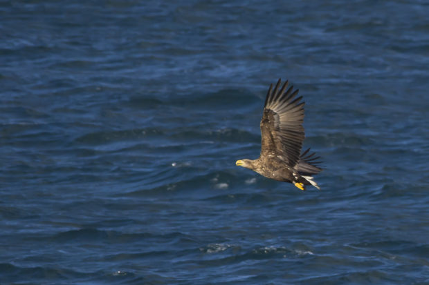 Photograph of a white-tailed eagle
