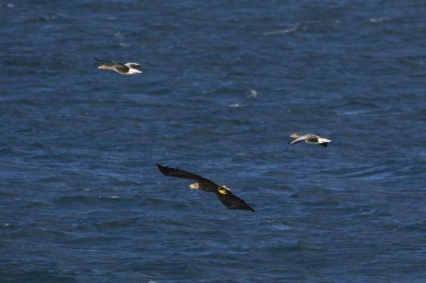 Photograph showing a white-tailed eagle with two smaller greylag geese