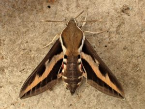 Photograph of a bedstraw hawkmoth by J_Arndt