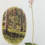 Illustration of a lesser twayblade from Flo's book