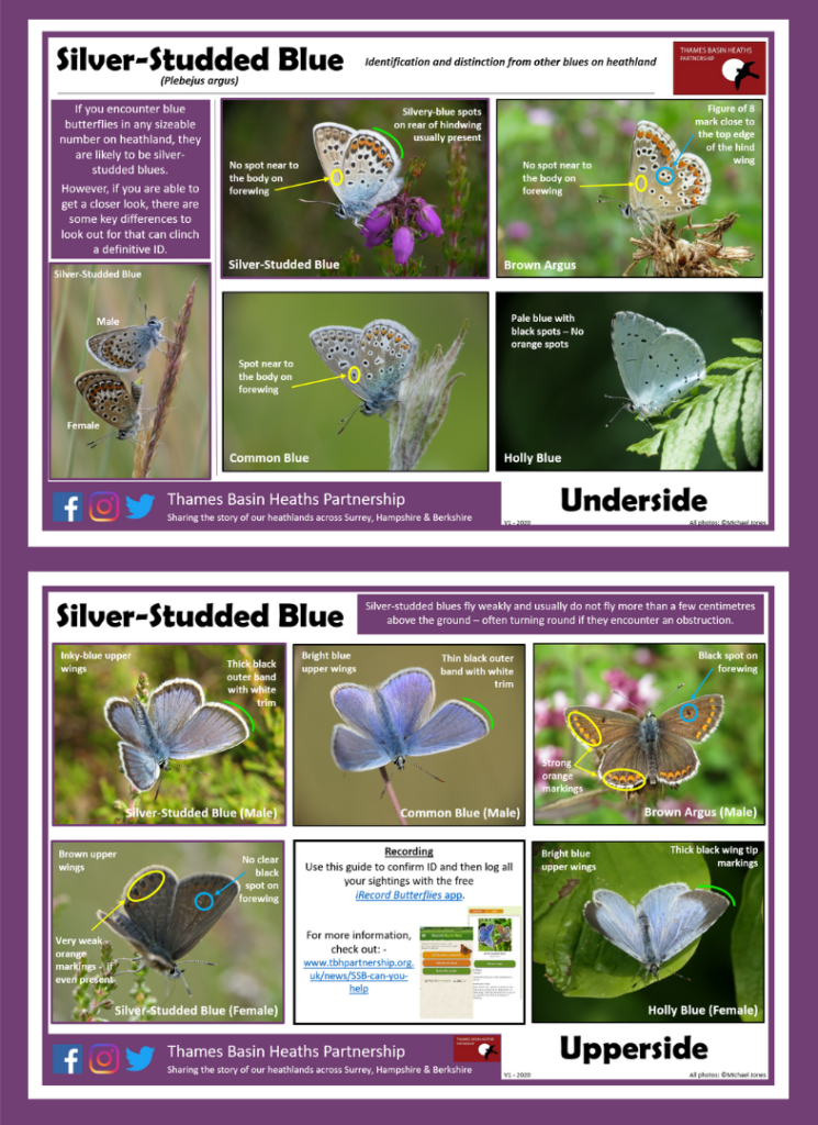 CLICK IMAGE TO DOWNLOAD - Guide to separating blue butterflies on heathland!