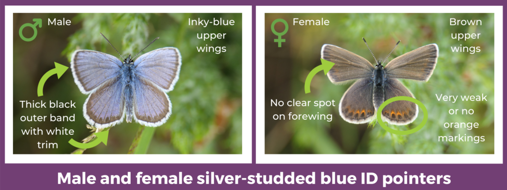 Male and female silver-studded blue ID pointers