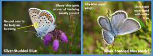 Some simple ID pointers for male silver-studded blues - Download the ID sheet to find out more!