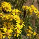 Photograph of cinnabar moth caterpillars and burnet moth on ragwort at Hare Hill kindly sent in by Carol W
