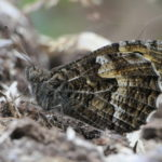 Close up photograph of a grayling butterfly