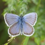 Photograph showing the blue of an open-winged silver-studded blue butterflue