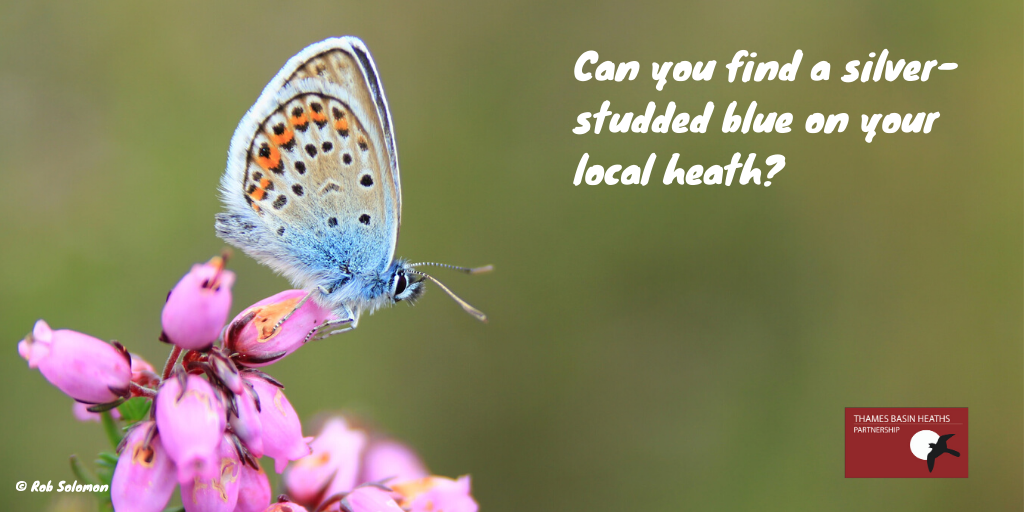 Can you find a silver-studded blue butterfly on your local heath?