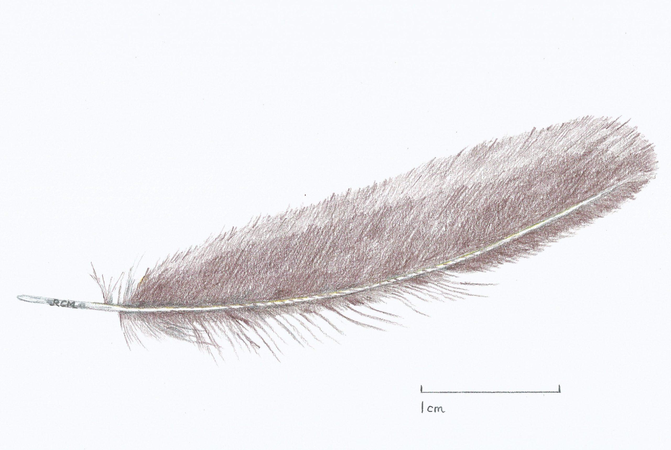 Heathland bird feather drawn by Warden Rupert