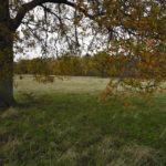 Oak trees with autumn colours at Ash Green Meadows