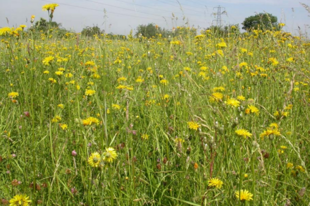 Photograph of a summer meadow at Chertsey Meads