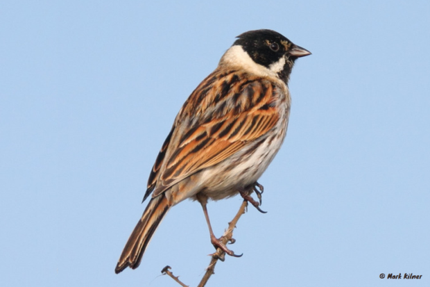 Photograph of a reed bunting