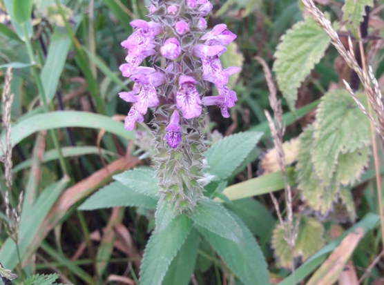 Photograph of the attractive plant marsh woundwort