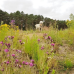 Picture of Nicky Ellen Veitch's dog Sandy enjoying Buckler's Forest.