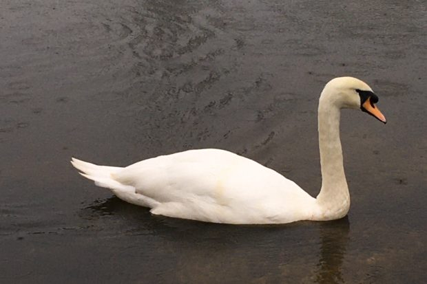 Photograph of a mute swan.