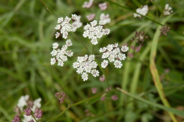 Photograph of Upright Hedge Parsley flower.