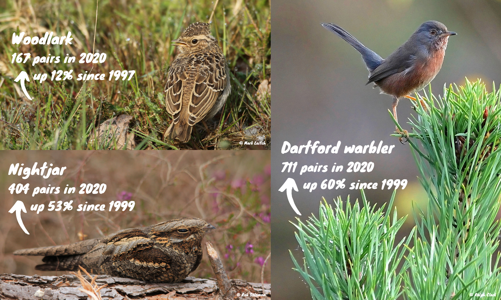 Nightjar are up 53% and Dartford warbler up 60%. The woodlark is up by 12%.