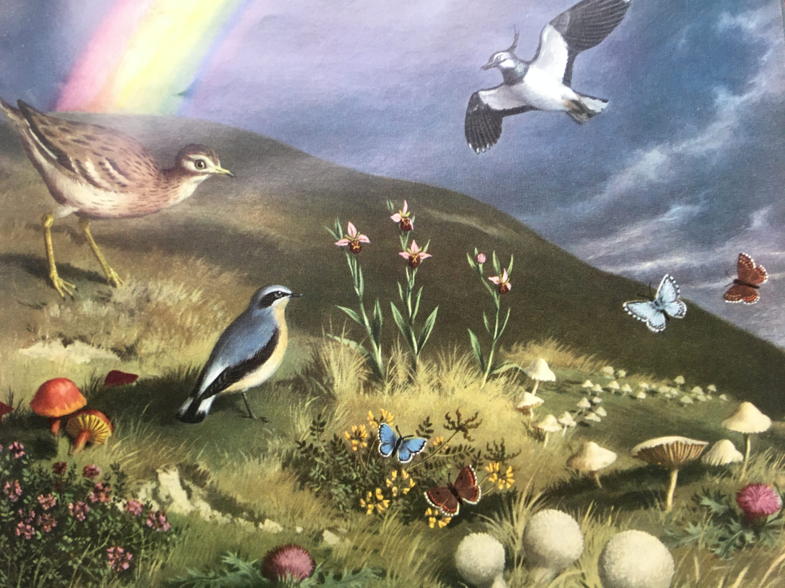 Illustration showing chalk downland, including a wheatear and a lapwing