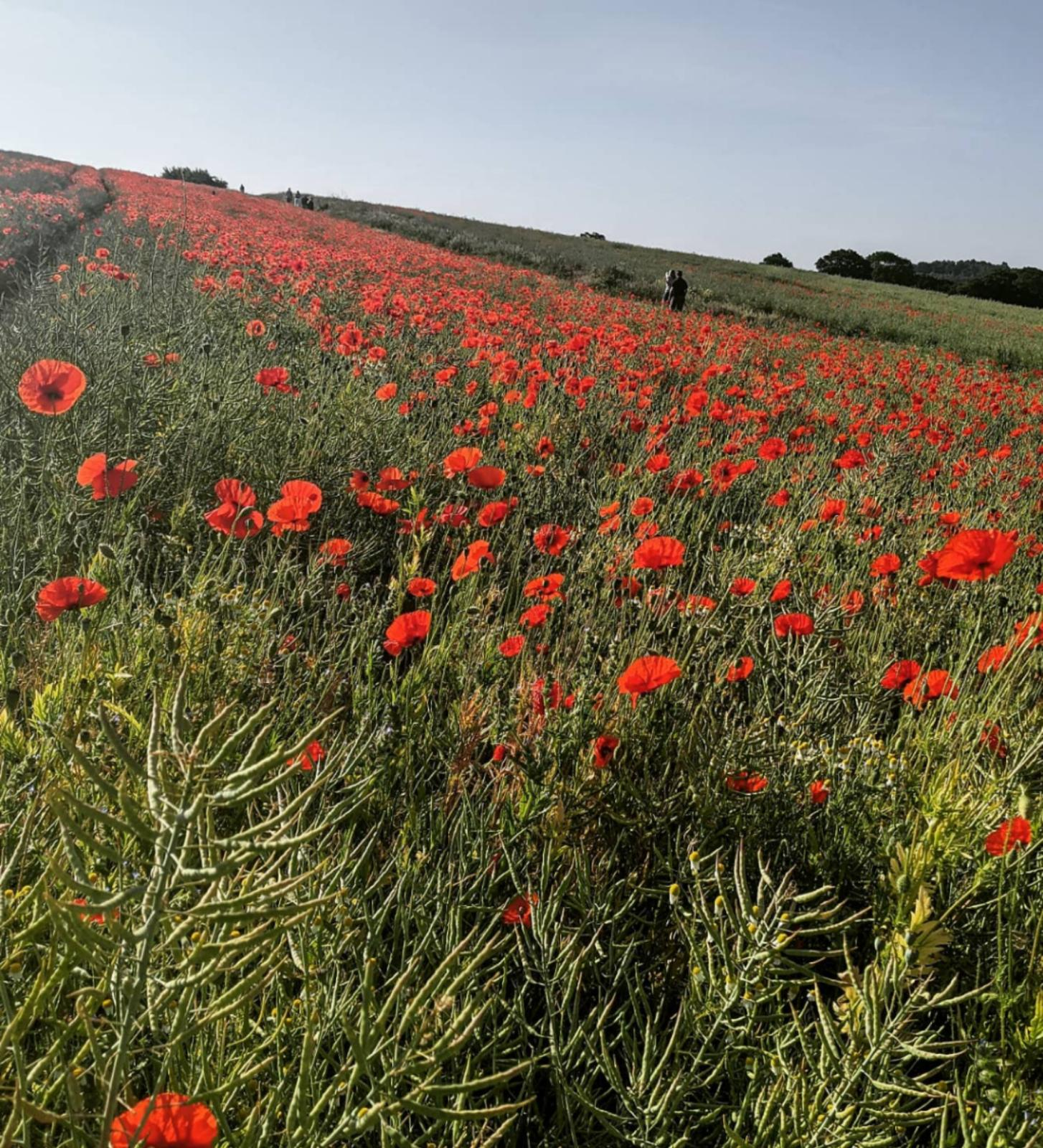Photograph of poppies in a field on the slopes of Chantry Wood