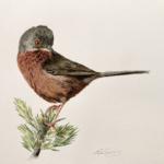 Watercolour of a Dartford warbler.