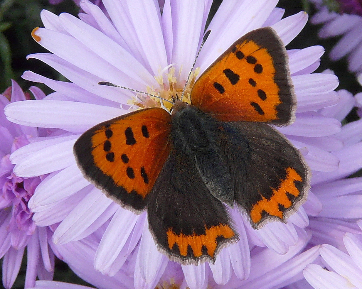 Photograph of small copper butterfly