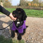 Nice black pup wearing a purple coat!