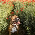 Nice dog sitting in the poppy field at Chantry Wood