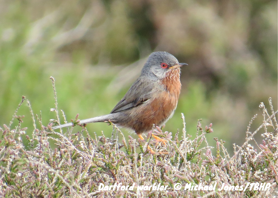 Photograph of Dartford warbler