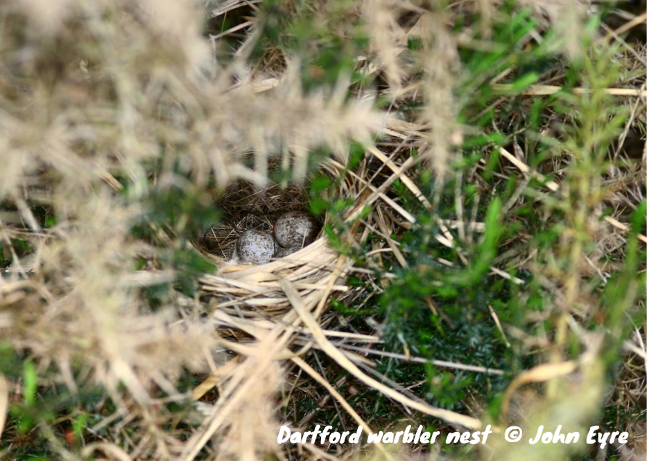Photo of Dartford warbler nest