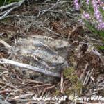 Photograph of nightjar chicks on the ground © Surrey Wildlife Trust