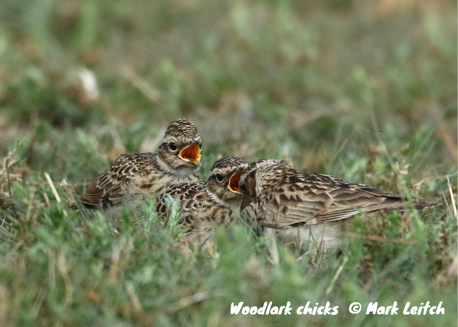 Photo of woodlark chicks on the ground by Mark Leitch