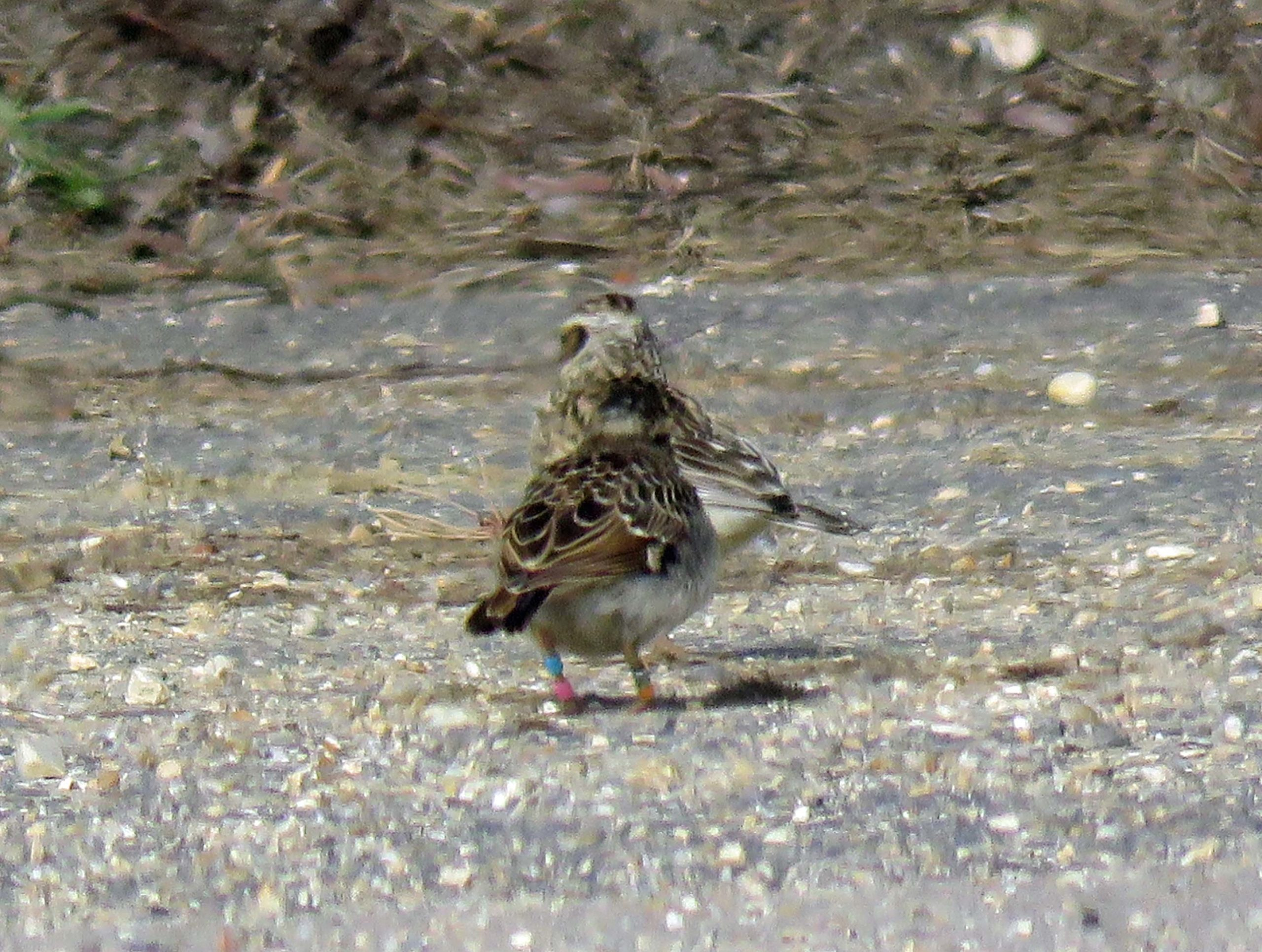 Slightly blurred photograph of a young woodlark and its parent. Coloured rings visible on the young bird's legs.