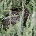 Photograph of an adder curled up in the heather